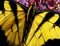 Yellow Tiger Swallowtail Butterfly Wall Art