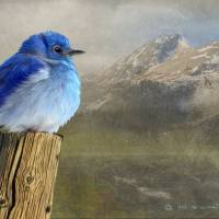 """early spring chill / mountain bluebird"" by rchristophervest"