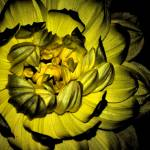 """SATIN CURLS IN YELLOW"" by NaturePlusStudios"