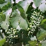 """Deer Ridge Grapes"" by bspringer"