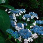 """lace leaf hydrangea"" by MichaelKarasik"