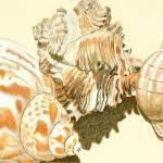 """Conch Shells"" by Glenda"
