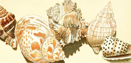 Stunning Quot Conch Quot Drawings And Illustrations For Sale On