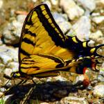 """Yellow Swallowtail Butterfly"" by maj"