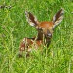 """Fawn in the Tall Grass"" by crazysuncompany"