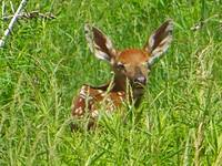 Fawn in the Tall Grass