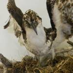 """Osprey 1709"" by photographybydonna"