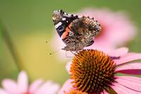 Red Admiral (IMG_0712) by Jeff VanDyke