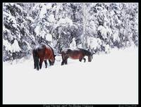 Horses on Alaska Highway