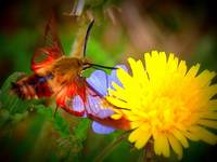 Another World -Hummingbird Moth