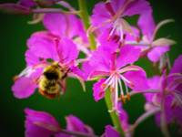 Fireweed Bee