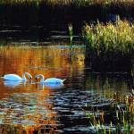 """Two Swans In Autumn"" by bavosiphotoart"