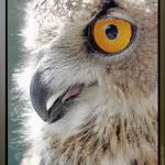"""Eagle Owl: Staring into Sunlight, ワシミミズク,  欧洲产之大雕,"" by jimaustin"