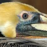 """Brown Pelican"" by eyalna"