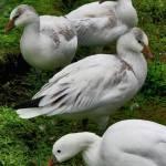 """""""Snow geese"""" by kenart"""