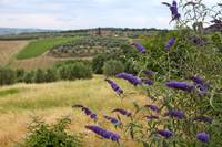 Tuscan Vineyards and Lavendar