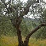 """Olive Tree"" by nadinerippelmeyer"