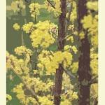 """""""Blooms in Yellow"""" by TamIshArt"""