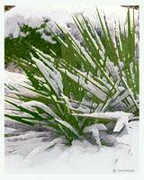 Yucca's in the Snow