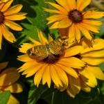 """Butterfly on Zinnias"" by awsheffield"