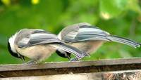 Chickadee Siblings Nibbling