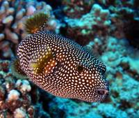 Spotted Puffer