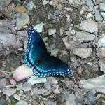 """""""Blue Butterfly"""" by teenolan"""