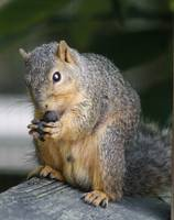 Squirrel  eating an acorn