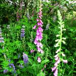 """Foxglove and Lupine #20100710_015.1g."" by anselprice"