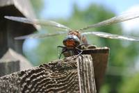 dragonfly face off