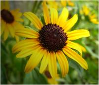 Blackeyed Susan closeup