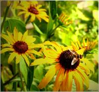 Blackeyed Susans and Bee