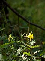 Arizona Wildflower Columbine 3174