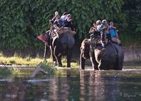 Elephants crossing the Rapti - Chitwan, Nepal