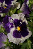 Pansy After The Storm