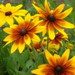 """Blackeyed Susan"