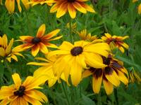 Blackeyed Susan's