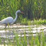 """Egret Hunting by LAMeyer"" by LAMeyer"