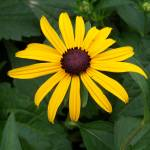 """Black Eyed Susan"" by coribeth"