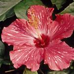 """Flower Hibiscus Red"" by kphotos"