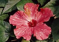 Flower Hibiscus Red