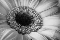 Gerber Daisy 2 by David Kocherhans