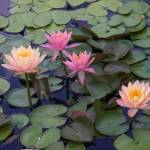 """""""Water Lilly Pastels"""" by magnoliadorn"""