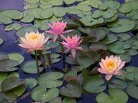 Water Lilly Pastels