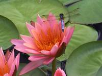 Water Lilly & Dragonfly