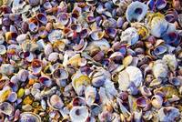 see sea shells by the sea shore