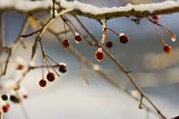 winter bokeh berrys
