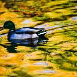 """Duck in gold"" by etravus"