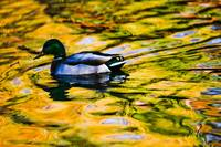 Duck in gold