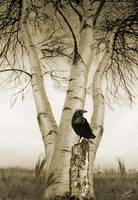 Raven and Birch Trees